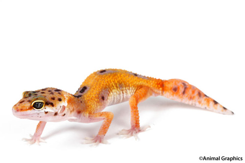 high color leopard gecko med eublepharis macularius