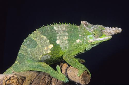 Fischer chameleon med kinyongia fischeri segrest farms picture of fischer chameleon med kinyongia fischeri thecheapjerseys Choice Image